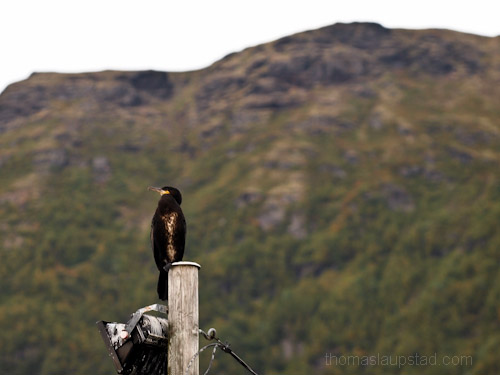Picture of Great Cormorant (Phalacrocorax carbo) sitting on lamp post