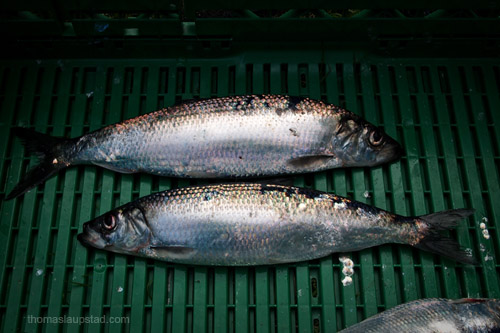 Picture of Atlantic herring (Clupea harengus) fish caught in Northern Norway