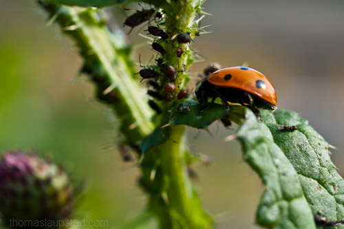 Macro picture of ladybug/ladybird (Coccinellidae) hunting plant lice