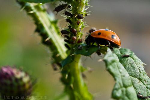 Macro picture of ladybug/ladybird (Coccinellidae) hunting plant lice