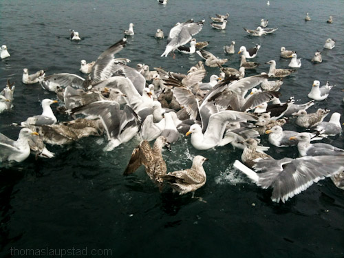Pictures of eating frenzy seagulls on the sea in Northern Norway