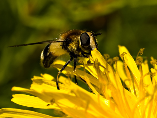 Nærbilde av blomsterflue på løvetannblomst