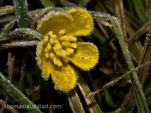 Nærbilde av blomsten til engsoleie (Ranunculus acris) dekket med rim