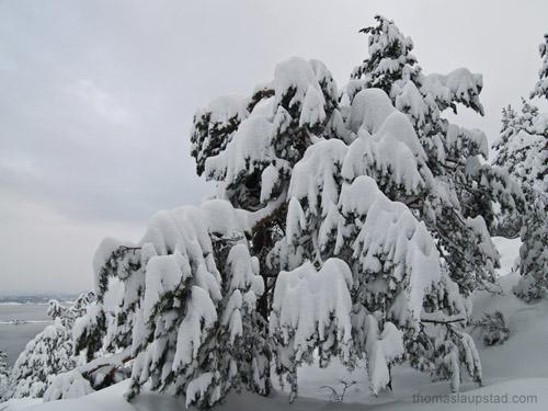 Bilde av furutre overdekt av snø - Ekstremt snøfall på Østlandet