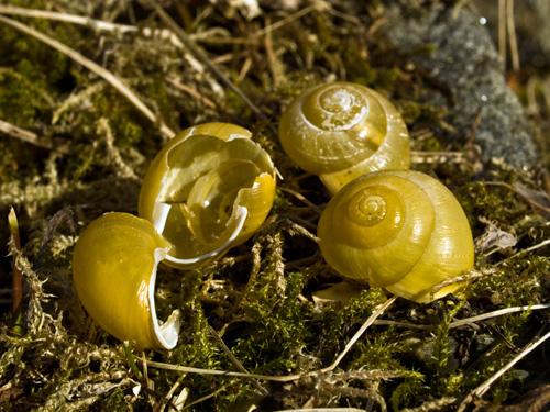 Bilde av gule snegleskjell