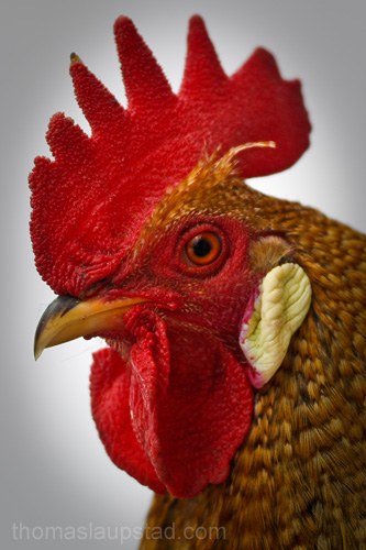 Bilde av hane - portrett av en staselig hanefar
