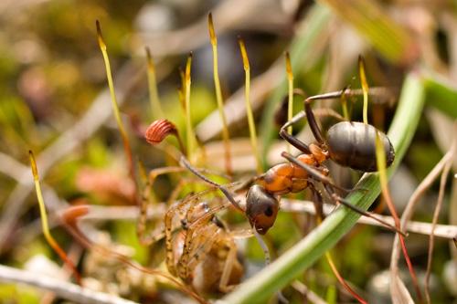 Nærbilde av en maur som har fanget en edderkopp