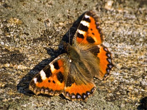 Nærbilde av årets første sommerfugl - Neslesommerfugl (Nymphalis urticae)