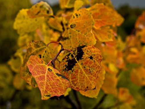 Bilde av ospeløv (Populus tremula) i høstfarger