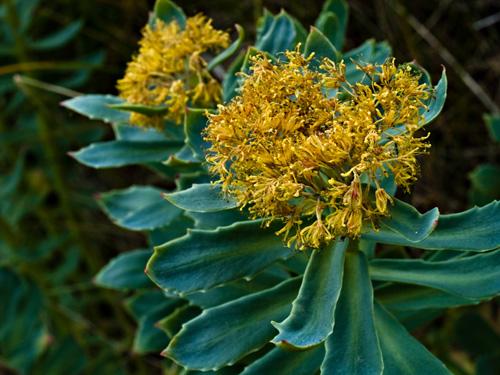 Makrobilde av rosenrot planter (Rhodiola rosea) - Naturens egen viagra