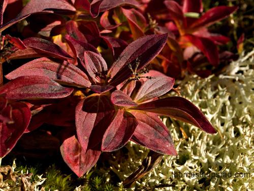 Bilde av skrubbær-plante (Chamaepericlymenum suecicum) i høstfarger