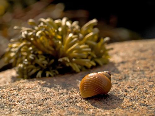 Nærbilde av snegl i fjæra med tang som bakgrunn