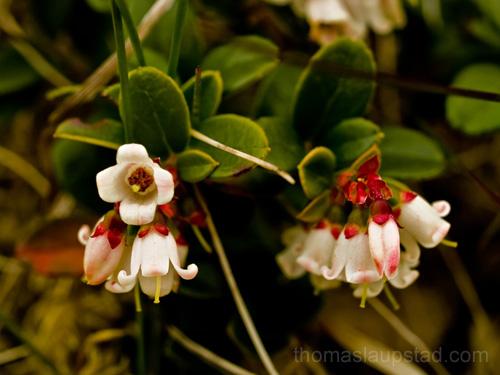 Bilde av tyttebær (Vaccinium vitis-idaea) - som blomster width=